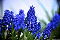 Grape Hyacinth (AGanPhotography) Tags: blue plant flower macro nature spring grape hyacinth gentle