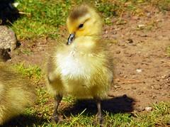 Canada Goose - Branta canadensis (Lorcan Keating) Tags: sanfrancisco california goldengatepark nikon canadagoose brantacanadensis stowlake d80 afsnikkor18200mm bayareawildlife