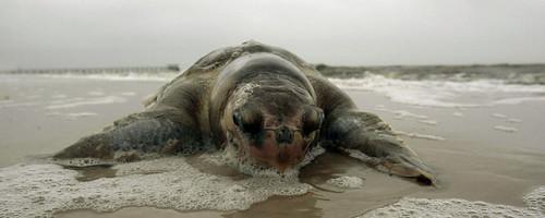 gulf_death_turtle2