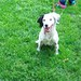 Castle, Jeff - Minne, English Setter