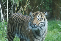 Sweet face (Moo-lissa) Tags: nature animals wildlife sumatrantiger mammals carnivore chesterzoo flickrbigcats