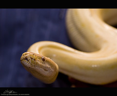 Hungry Yellow Albino (tawFiQ Dif) Tags: animal yellow nikon snake albino python elites  tawfiq ittihad