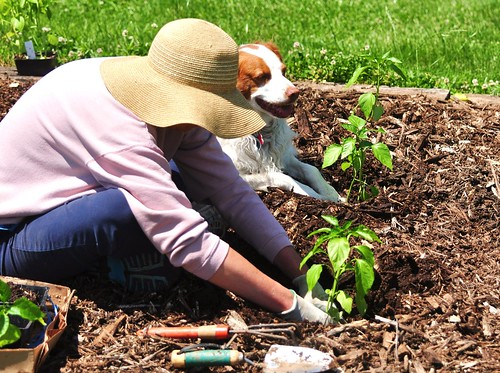 Conditiile optime pentru cultivarea Ardeilor (Capsicum annum)