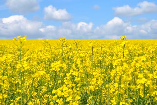 フリー写真素材, 花・植物, アブラナ科, 菜の花, 花畑, 田畑, 春, 黄色の花,