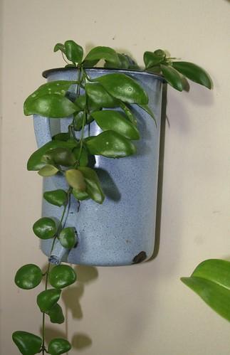 Hoya sp. Sulawesi 7729