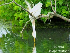 Hey! You Down There. You Look Familiar. (Image Hunter 1) Tags: reflection nature birds louisiana stretch bayou swamp perch marsh leaning egret stretching lean cattleegret grasping birdslouisiana panasonicfz35 raynox2025hd22x