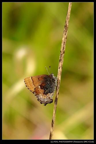 Brown Elfin (Callophrys augustinus)