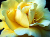 softness (bdaryle) Tags: flower nature rose yellow petals sony flor softness rosa explore layers chara brandondaryle bdaryle imagesbybrandon