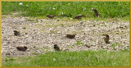 Sparrows Dust Bathing