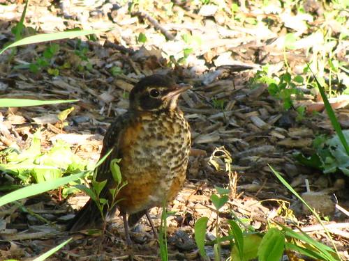 Gompers  Wetland Juvenile Robin 5-19-2010