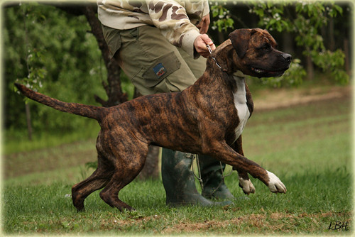 Pictures of Ripped American Bulldog - #rock-cafe