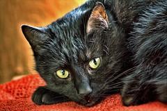 An HDR cat