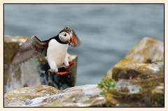 """Puffin """" coming into land"""" @ The Farne Islands (martin26at071) Tags: bird lens islands g sony puffin alpha farne a700"""