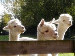 Baby Alpaca (Patty Cueva ♥) Tags: alpaca animals perú animales lavueltaalmundo