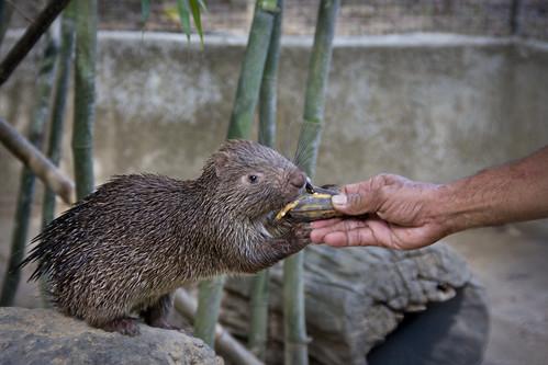 Procupine Feeding