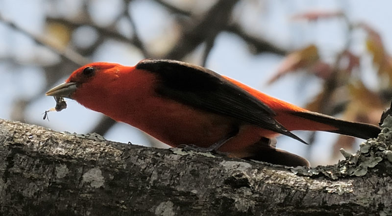 Scarlet Tanager With Bug