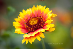 SUMMER IS HERE (Marquisa -) Tags: summer macro floral closeup interestingness nikon texas dof tx houston sunny explore russiantexan marquisa explored platinumphoto d700 svetlanavasiliadi russiantexas svetan svetanphotography exploredjun120103 explorefrontpagejun22010 svetalanavasiliadi