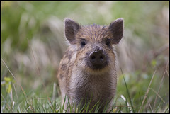 Wild Boar, Forest of Dean (Ben Locke (Ben909)) Tags: wild nature forest wildlife gloucestershire piglet boar forestofdean wildboar susscrofa