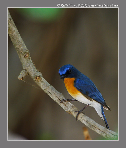 TickelsBlue Fly Catcher Male