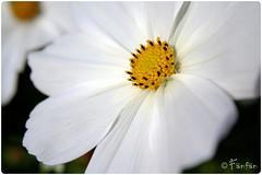 WHITE FLOWER (Fänfän) Tags: ireland white flower fleur flor belfast blanca blanche irlanda fänfän lirlande ltytr1