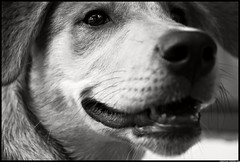 Lola's Smile (Christian Stepien.com) Tags: summer portrait dog pet white ontario canada black project nikon husky shepherd lola july christian german mississauga 2009 dagobah meadowvale stepien d40x