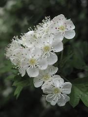 Hawthorn blossom. (IMG_9247) (Robert G Henderson (Romari).) Tags: june scotland east hawthorn 2010 lanarkshire kilbride canong10