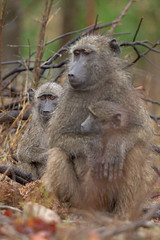 Baboon Family (Thomas Retterath) Tags: 2009 abenteuer adventure affen africa afrika animals baboon beanbag canon canonef300lis28usm canoneos7d cercoithecidae chacmababoon krugernationalpark letaba mammals monkeys natur nature papiocynocephalusursinus pavian rain safari southafrica sugetier sdafrika thomasretterath tiere travel urlaub wildlife