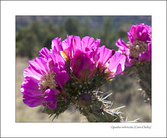 Opuntia imbricata (Cane Cholla) (AnEyeForTexas) Tags: flowers cactus flower cacti desert blossom wildflowers opuntia wildflower deserts botanicals blooming chihuahuan chihuahuandesert hugyourcacti