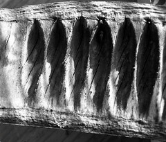Delonix Regia... (YAZMDG (16,000 images)) Tags: bw black leaves sepia dark studio moss lowlight noir gloomy y noiretblanc tint nb seeds fungi sombre bark nsw ambient lichen delonixregia blackout flamboyant pods seedpod florafauna yaz obscure obscur melancholic absence shadowy poinciana melancholie northernrivers lacunae redfloweringtree lacune nswrfp arffs yazminamicheledegaye northernriversspecies tropicalarf yazmdg subtropicalarf obscuritee ystudio