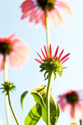 Flower In Making