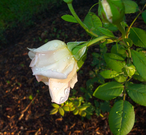 Pink Rose, Side View