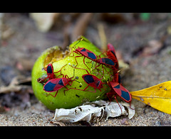 Feast (Sh@dows) Tags: red macro green feast canon insect insects kerala mango 7d gathering ef100mmf28 thrissur shieldbug stainer sadhya sarin greenmango canonef100mmf28 redcotton shieldbeetle sarinsoman canon7d gettyimagesindiaq3