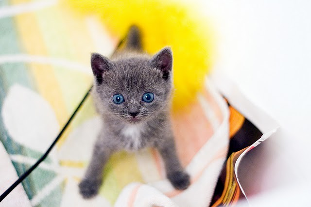 cute rescued gray kitten