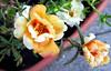 6916 Portulaca (lcm1863) Tags: flowers orange white june spring pennsylvania peach deck adamscounty