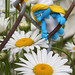 Smurfette looking at daisies