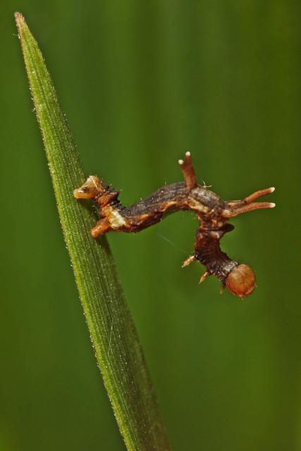 Horned Spanworm Moth (Nematocampa resistaria) caterpillar