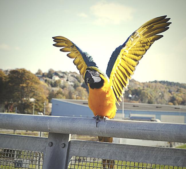 papegoja1