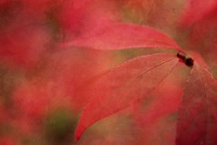 life is (Oly_m) Tags: life autumn red fall leaves textures painterlytextures summerpainterly