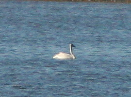 Swan cropped 2-20101102
