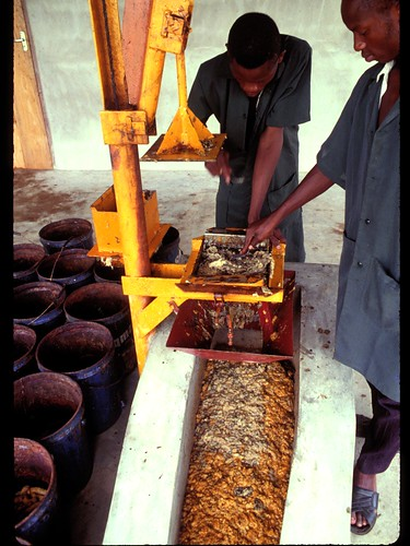 Men grinding banana into paste for food processing