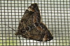 Dark Marbled Carpet Geometer Moth (3)
