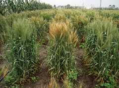 Screening wheat lines for Fusarium head blight resistance (CIMMYT) Tags: brown plant planta caf field mxico mexico experimental wheat headquarters line research fungus breeding damage campo resistencia agriculture seleccin infected scab screening plot sede improvement disease hongo resistance pathology infection trigo agricultura pathogen parcela enfermedad fungal lnea lesin researchstation dao investigacin lesion necrosis fusarium symptom elbatn infeccin roa fhb experimentstation phytopathology necrotic cimmyt patologa patgeno mejoramiento infectado fitopatologa sntoma fusariumheadblight gibberellazeae diseaseresistance resistenciaaenfermedades fngico fngica estacinexperimental estacindeinvestigacin necrtico necrtica fusariumgraminearum headscab earblight headblight roadelaespiga tizndelaespiga
