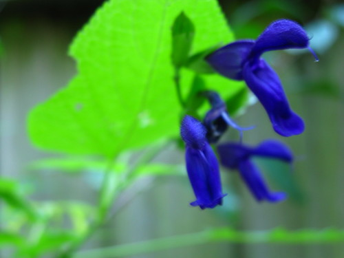 Salvia 'Jean's Purple Passion'