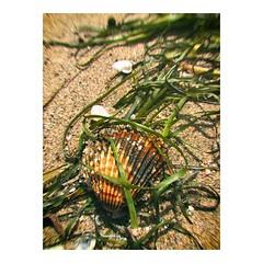 A trapped shell - Una concha atrapada #concha #shell #algas #algae #beach #playa #mar #sand #arena #ocean #sol #shell #シェル #vacaciones #beachlife #verano #seashell #plage #seaside #shore #beachday #seashore #praia #holidays #platja #paradise #seascape #es (IMARCHI) Tags: a trapped shell una concha atrapada algas algae beach playa mar sand arena ocean sol シェル vacaciones beachlife verano seashell plage seaside shore beachday seashore praia holidays platja paradise seascape españa imarchi imarchicom photographer fotografo madrid spain photography photo foto iphone phoneography iphoneography mobile eyeem instagram