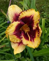 Im Regen... (1elf12) Tags: lilie lilly blume flower germany deutschland yellow gelb braunschweig wassertropfen regen rain