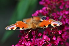 Tagpfauenauge (Hugo von Schreck) Tags: hugovonschreck tagpfauenauge aglaisio peacock butterfly schmetterling falter macro makro insect insekt canoneos5dsr tamron28300mmf3563divcpzda010