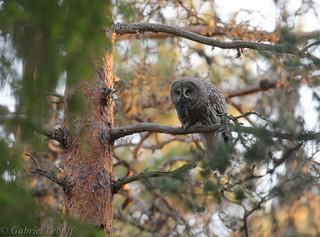 Chouette lapone Great Grey Owl 2319_DxO.jpg