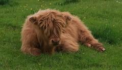 Highland calf (basil1926) Tags: cattle animal farm scotland longhair ginger nature rurallife