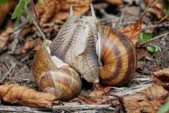 Zwei Weinbergschnecken (Helix pomatia) beim Vorspiel :-) (AchimOWL) Tags: weinbergschnecke helix pomatia schnecke schnecken natur paarung liebesspiel vorspiel nature wildlife panasonic gx80 olympus outdoor lungenschnecke landgehäuseschnecke schnirkelschnecke helicidae snail snails snailsloveit liebe love