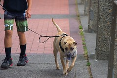 Walking The dog (swong95765) Tags: dog guy walk exercise outing cute canine animal pet